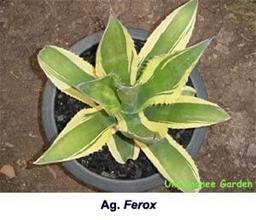 Agave salmiana var ferox yellow edge