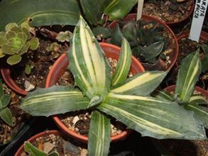 Agave salmiana var. ferox streaked