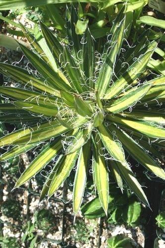 Agave schidigera yellow center (Greg Starr)