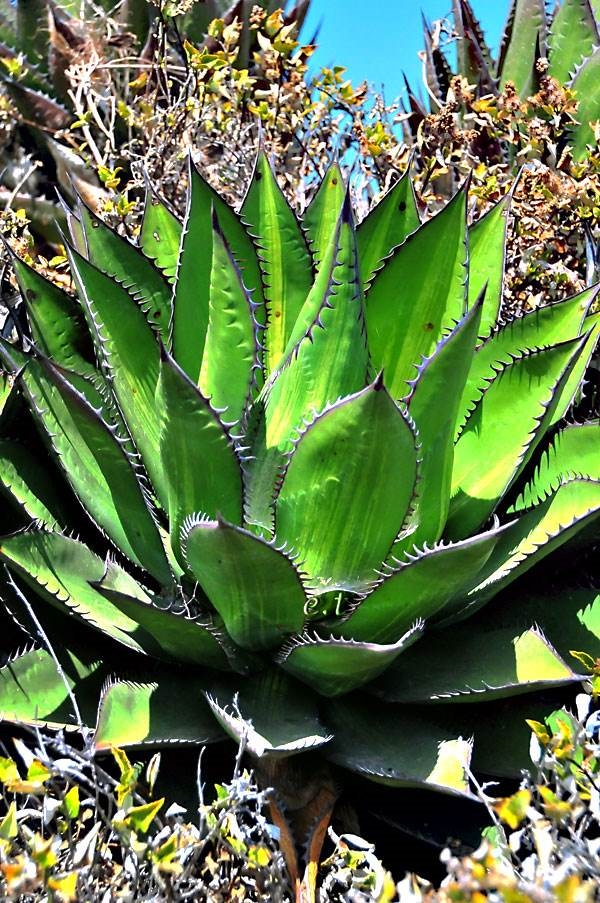 Agave shawii striata in situ Baja, CA (E. Thompson)