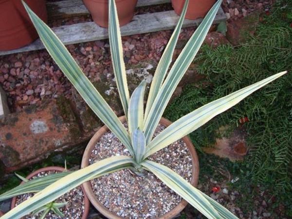 Agave tequilana Striata (Stef van Dort)