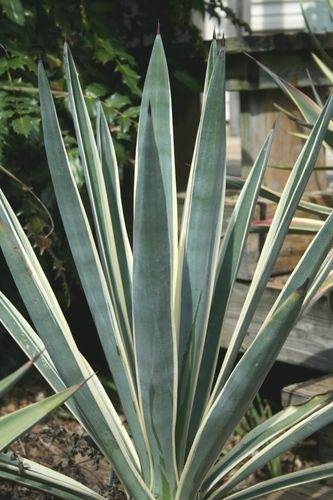 Agave sisaliana 'Margurita Madness' - introduced from Japan by Barry Yinger as Agave tequiliana (Avent)