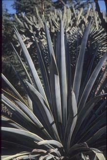 Agave tequilana yellow edge