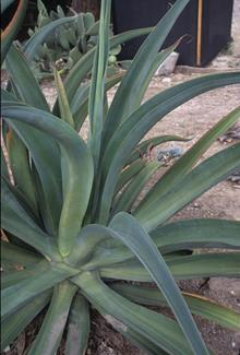 Agave vilmoriniana light green center