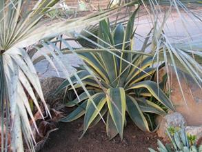 Agave weberi yellow edge