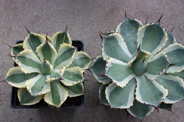 agave 'Desert Diamond' - left; Agave 'Kissho Kan' right (Hans Hansen)
