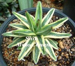 agave victoriae-reginae yellow edge