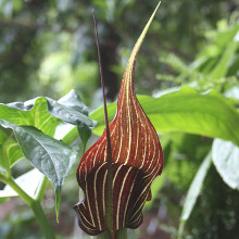 Arisaema (Jack in the Pulpit, Cobra Lily)