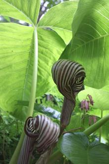Arisaema fargesii flower and foliage