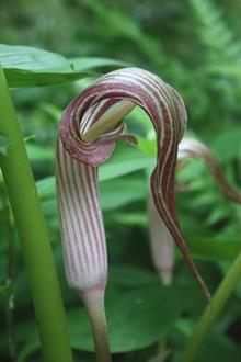 Arisaema franchetianum CY A11 07 in flower