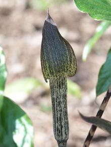 Arisaema lobatum flower back P Schmidt