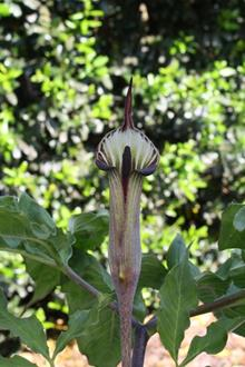 Arisaema maximowiczii purple in flower