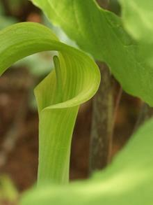 Arisaema quinatum A11NC 085 flower