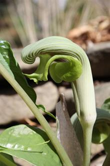 Arisaema ringens A1TW 003 in flower closeup