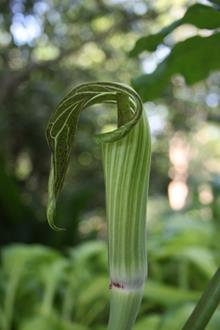 Arisaema serratum Izumiense flower sideways