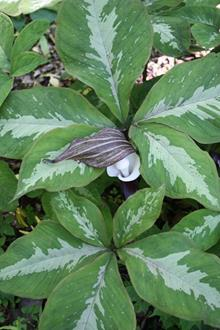 Arisaema sikokianum Silver Center in flower