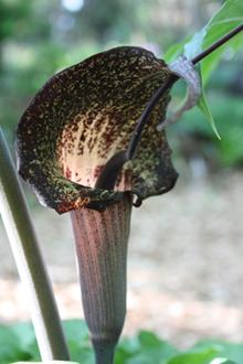 Arisaema thunbergii Toyozo form flower closeup