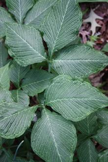 Arisaema triphyllum Starburst foliage at Elsley Gdn