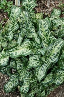 Arum italicum 'Scottish Silver'