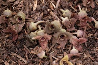 Asarum albomaculatum 'Monarch'