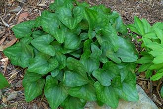 Asarum arifolium 'Green Valentine'