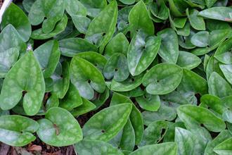 Asarum arifolium 'Chattahooche Coochie'