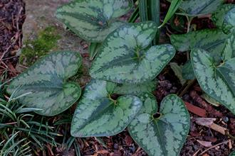 Asarum arifolium 'Heart's Desire'