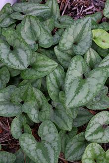 Asarum arifolium 'Silver Spreader'