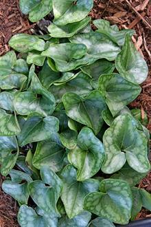 Asarum arifolium 'St. Clair'