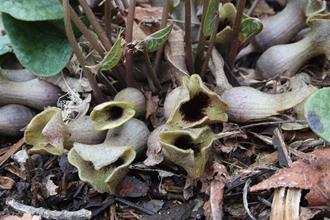 Asarum arifolium 'Walhalla'