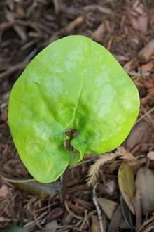 Asarum arifolium 'Goldcliff'