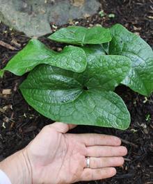 Asarum campaniflorum 'Ginormous'