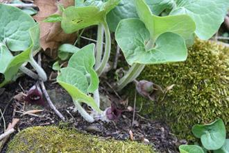 Asarum acuminatum (rear) and Asarum canadense (fore)