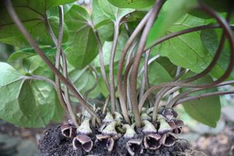 Asarum crassum