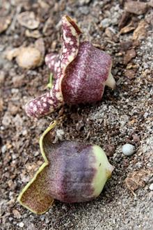 Asarum heterophyllum