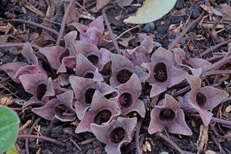 Asarum kurosawae 'Saddleback'