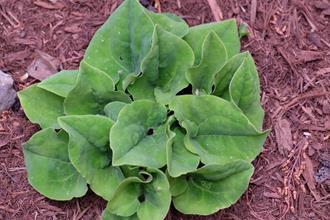 Asarum macranthum 'Green Velvet'