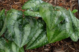 Asarum nobilissimum 'Super Shield'