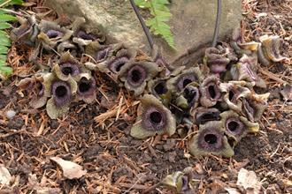 Asarum porphyronotum var. atrovirens 'Irish Spring'
