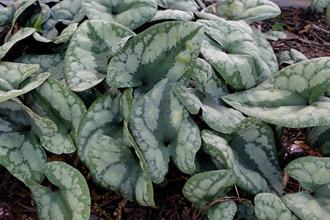 Asarum porphyronotum 'Crazy Quilt'