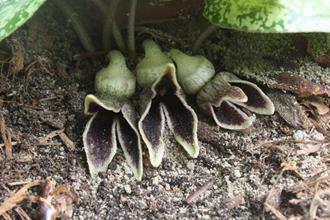 Asarum sakawanum 'Speckulation'