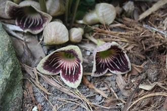 Asarum speciosum 'Bloodshot Eyes' - l; 'Woodlander's Select' - r