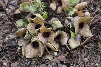 Asarum taipingshanianum 'The Usual Suspecks'