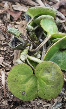 Asarum virginicum 'Reb's Child'