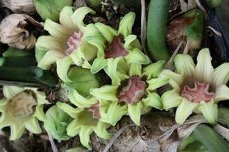 Aspidistra attenuata 'Dungpu Dazzler' (BSWJ377) flowers closeup