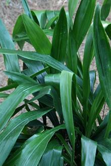 Aspidistra basalis 'Green Jeans'