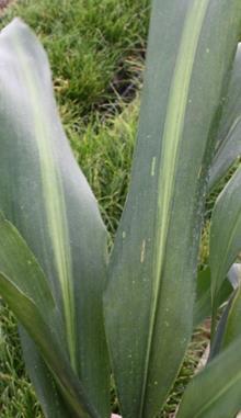 Aspidistra sichuanensis 'Gold Lancer'