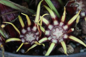 Aspidistra guangxiensis 'Stretch Marks' flower
