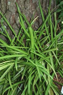 Aspidistra linearifolia 'Skinny Dippin'