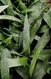 Aspidistra vietnamensis 'Ginga' foliage